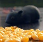 Hongerig weinig muis Royalty-vrije Stock Afbeeldingen
