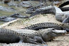 Hongerige Alligators Stock Foto's