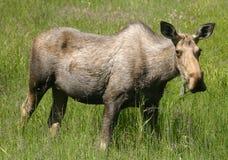 Hongerige Amerikaanse elanden Royalty-vrije Stock Fotografie