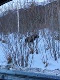 Hongerige Amerikaanse elanden Van Alaska royalty-vrije stock afbeeldingen