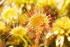 Hongerige bloemenzonnedauwen 2 Stock Foto's