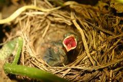 Hongerige de vogel van de baby! - open bek stock afbeeldingen