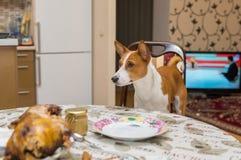 Hongerige die Basenji-hond zijn plaats wordt genomen bij dinerlijst stock afbeeldingen