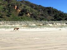 Hongerige dingo in Fraser Island stock fotografie