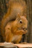 Hongerige eekhoorn die een noot eet Royalty-vrije Stock Foto's