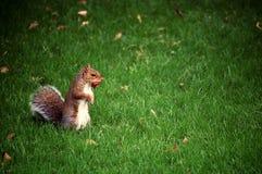 Hongerige eekhoorn in het gras Royalty-vrije Stock Foto