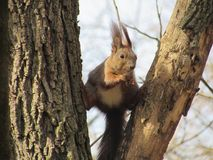 Hongerige eekhoorn met een noot stock foto's