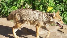 Hongerige gouden jakhals die in de groene bos goudhoudende gouden de wolf van Canis jacht in nationaal park lopen stock footage