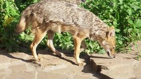Hongerige gouden jakhals die in de groene bos goudhoudende gouden de wolf van Canis jacht in nationaal park lopen stock video