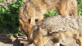 Hongerige gouden jakhals het snuiven grond in de bos goudhoudende gouden de wolf van Canis jacht in nationaal park stock video
