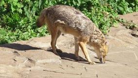 Hongerige gouden jakhals het snuiven grond in de bos goudhoudende gouden de wolf van Canis jacht in nationaal park stock footage
