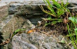 Hongerige grijze hagedis in de zijn gat jacht voor de mieren Royalty-vrije Stock Afbeelding