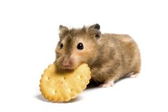 Hongerige hamster Stock Fotografie