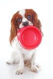 Hongerige hond met kom De leuke arrogante foto van de het spanielhond van koningscharles op studiowit geïsoleerde achtergrond Ver Royalty-vrije Stock Foto's
