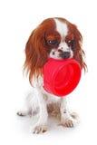 Hongerige hond met kom De leuke arrogante foto van de het spanielhond van koningscharles op studiowit geïsoleerde achtergrond Ver Royalty-vrije Stock Fotografie