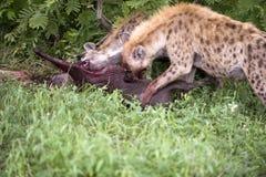 Hongerige hyena Stock Foto's