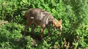 Hongerige jakhals het snuiven struiken in bos Twee gouden wolven die in nationaal park in wilde aard jagen stock video
