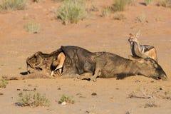 Hongerige jakhals twee die Met zwarte rug op een hol karkas in eten Royalty-vrije Stock Afbeelding