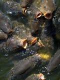 Hongerige karpers Stock Afbeelding