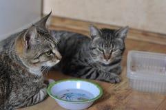 Hongerige kat twee stock foto
