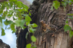 Hongerige kleine vogels in nest op boom Stock Fotografie
