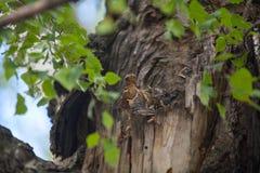 Hongerige kleine vogels in nest op boom Stock Foto's