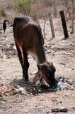 Hongerige koe Royalty-vrije Stock Afbeeldingen