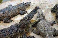 Hongerige krokodillen Royalty-vrije Stock Foto's