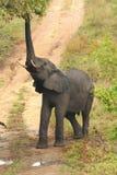 Hongerige olifant Stock Afbeeldingen