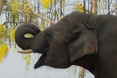 Hongerige olifant Stock Fotografie