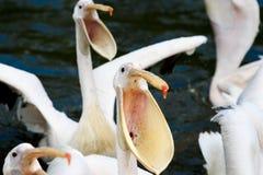 Hongerige pelikanen Stock Afbeelding