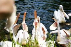 Hongerige pelikanen Stock Afbeeldingen