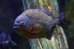 Hongerige Piranha stock afbeelding