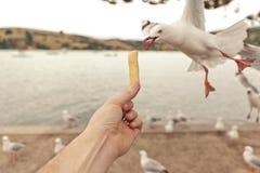 Hongerige Seagulf stock fotografie