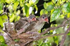 Hongerige strook-eared babyvogels bulbul Royalty-vrije Stock Afbeeldingen