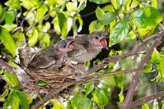 Hongerige strook-eared babyvogels bulbul Royalty-vrije Stock Afbeelding