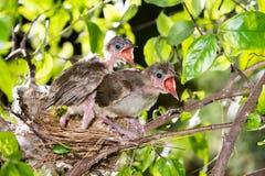 Hongerige strook-eared babyvogels bulbul Stock Afbeelding