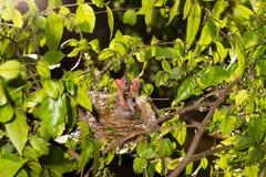 Hongerige strook-eared babyvogels bulbul Stock Afbeeldingen