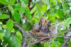 Hongerige strook-eared babyvogels bulbul Royalty-vrije Stock Fotografie