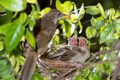 Hongerige strook-eared babyvogels bulbul Stock Fotografie