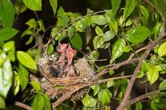 Hongerige strook-eared babyvogels bulbul Stock Foto's