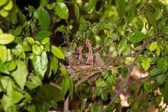 Hongerige strook-eared babyvogels bulbul Royalty-vrije Stock Foto