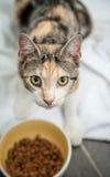 Hongerige Verdwaalde Calicoschildpad Cat Looking While Eating Dry F stock afbeelding