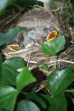 Hongerige vogels in een nest Royalty-vrije Stock Afbeeldingen