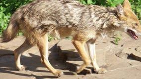 Hongerige wilde gouden jakhals die in de bos goudhoudende gouden de wolf van Canis jacht in nationaal park lopen stock videobeelden