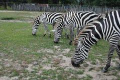 Hongerige zebras stock foto's