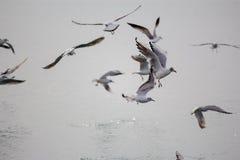 Hongerige Zeemeeuwen Stock Afbeelding