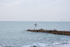 Hongerige zeemeeuwen die in het overzees duiken Royalty-vrije Stock Foto's