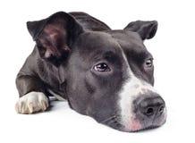 Hongerige zwarte hond Royalty-vrije Stock Foto
