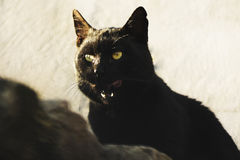 Hongerige zwarte kat Royalty-vrije Stock Foto's